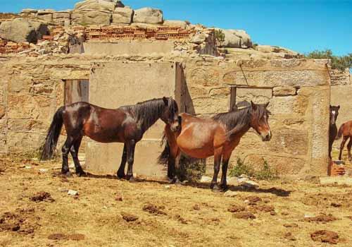 Cavalos Selvagens na Serra do Gerês